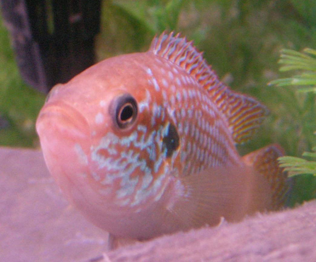 freshwater fish - hemichromis bimaculatus - jewel cichlid stocking in 50 gallons tank - 2