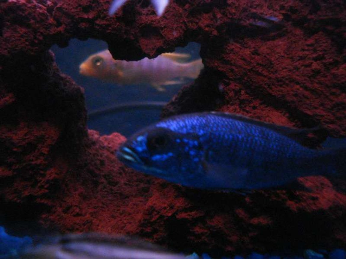 freshwater fish - sciaenochromis fryeri - electric blue hap stocking in 55 gallons tank - I THINK THEY'RE WATCHING EACHOTHER...Jewel Cichlid