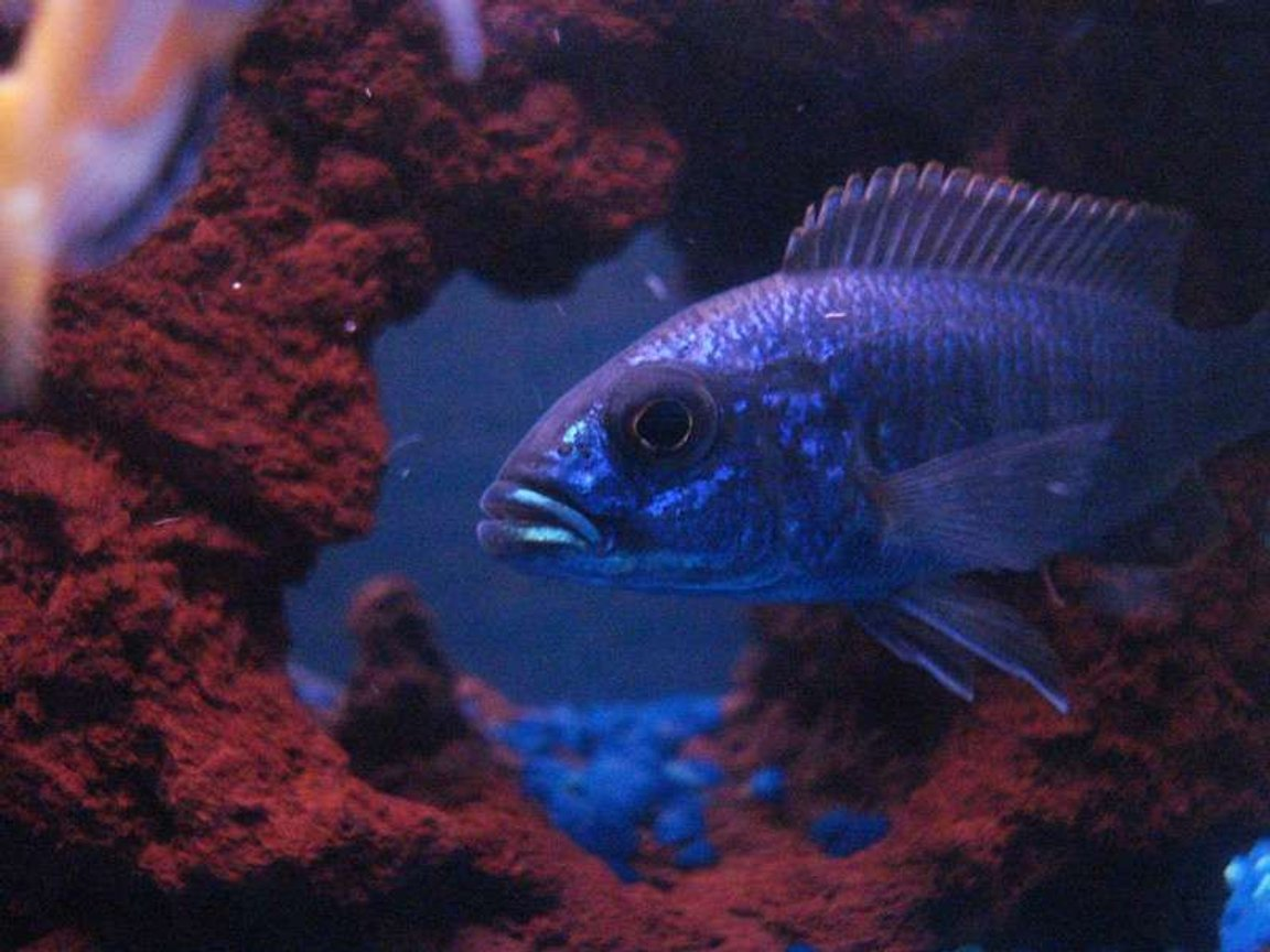 freshwater fish - sciaenochromis fryeri - electric blue hap stocking in 55 gallons tank - HappY HaP