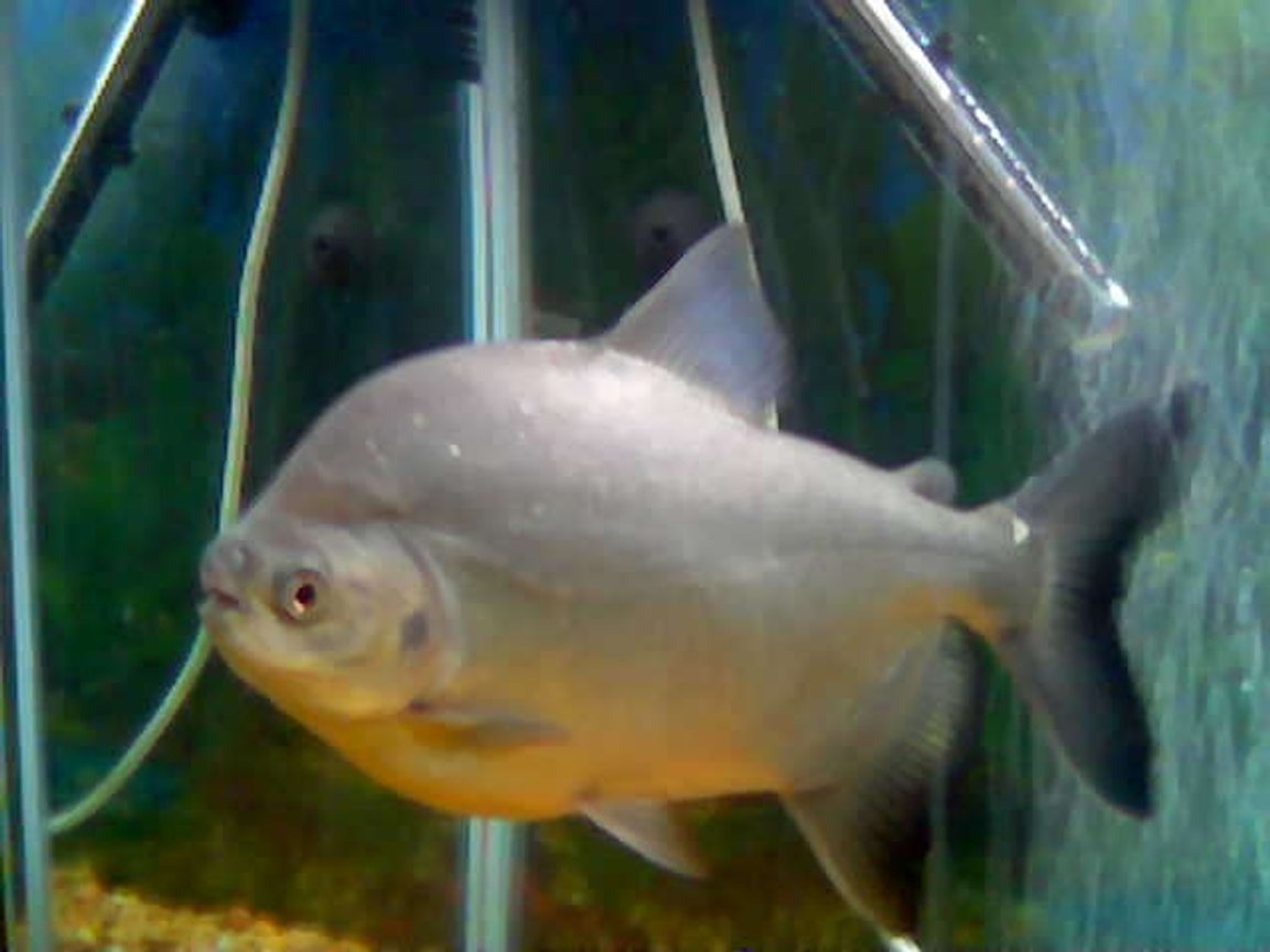 freshwater fish - piaractus brachypomum - red belly pacu stocking in 55 gallons tank - RED BELLY PACU