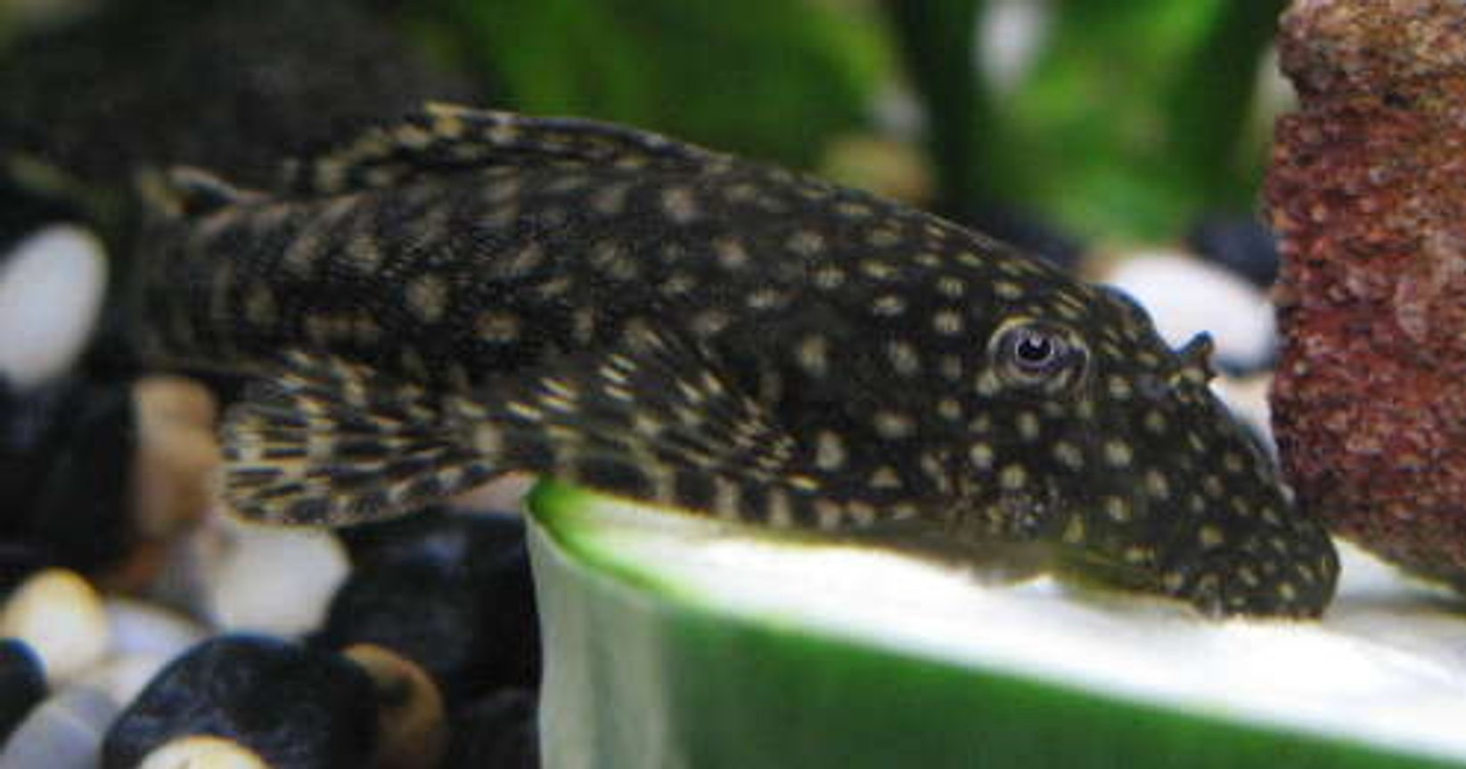 freshwater fish - scobinancistrus pariolispos - pario-ancistrus pleco (l-048) stocking in 44 gallons tank - Ancistrus munching on cucumber.