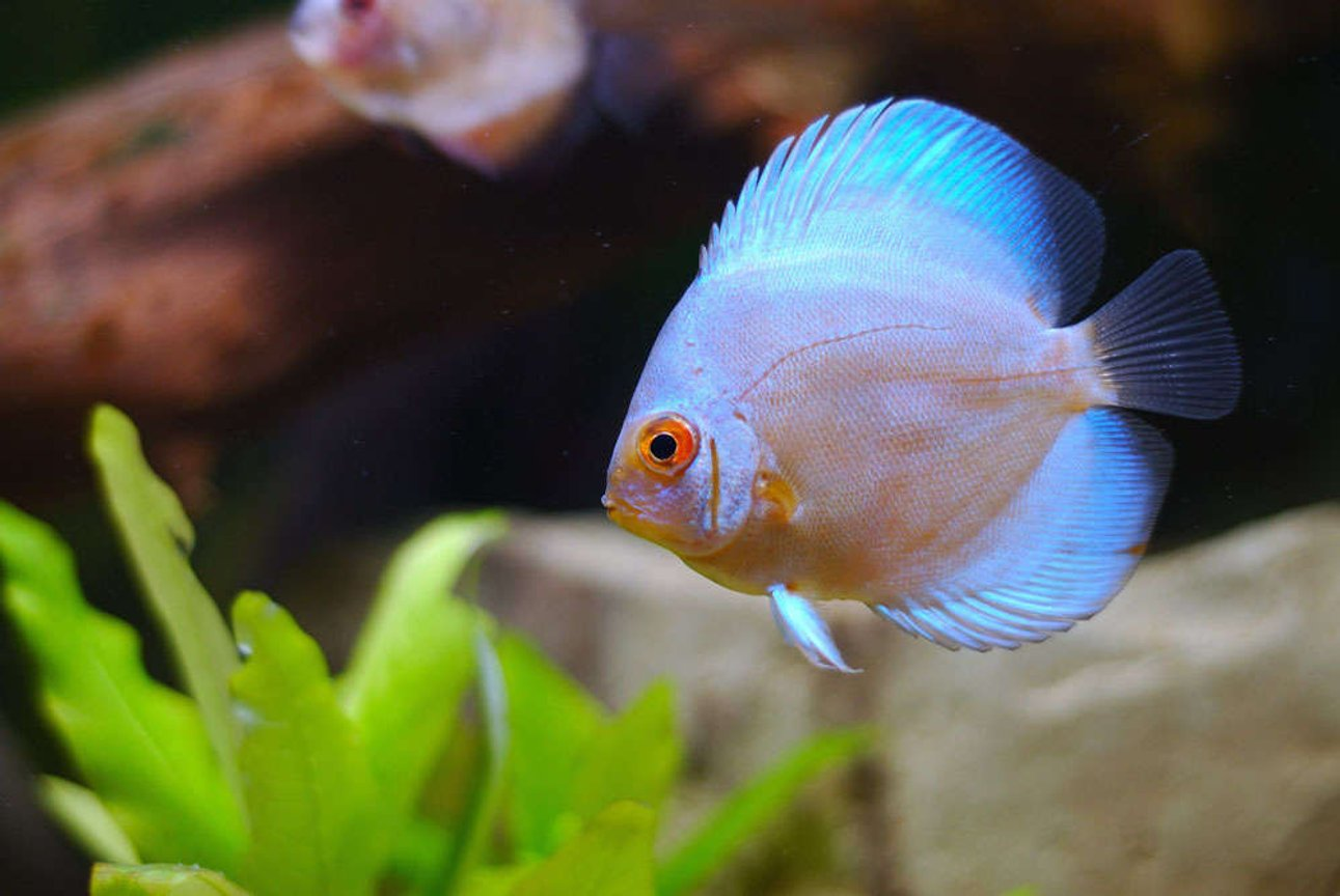 freshwater fish - symphysodon sp. - blue diamond discus stocking in 25 gallons tank - Lovely blue diamond
