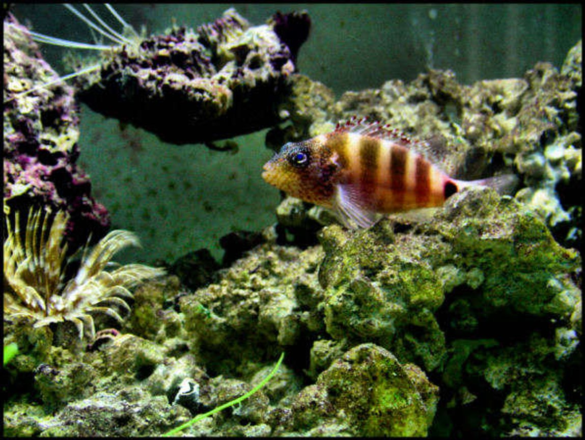 freshwater fish - astatotilapia latifasciata - zebra obliquidens stocking in 5 gallons tank - best pic i took so far of the fish in this set...i forgot this fishes name...
