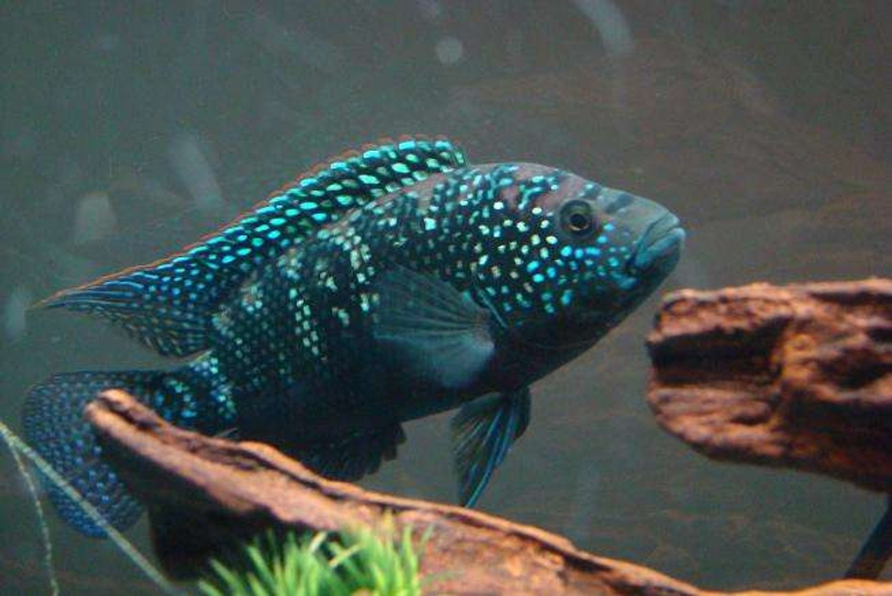 freshwater fish - nandopsis octofasciatum - jack dempsey stocking in 55 gallons tank - This is my Jack Dempsey Cichlid.