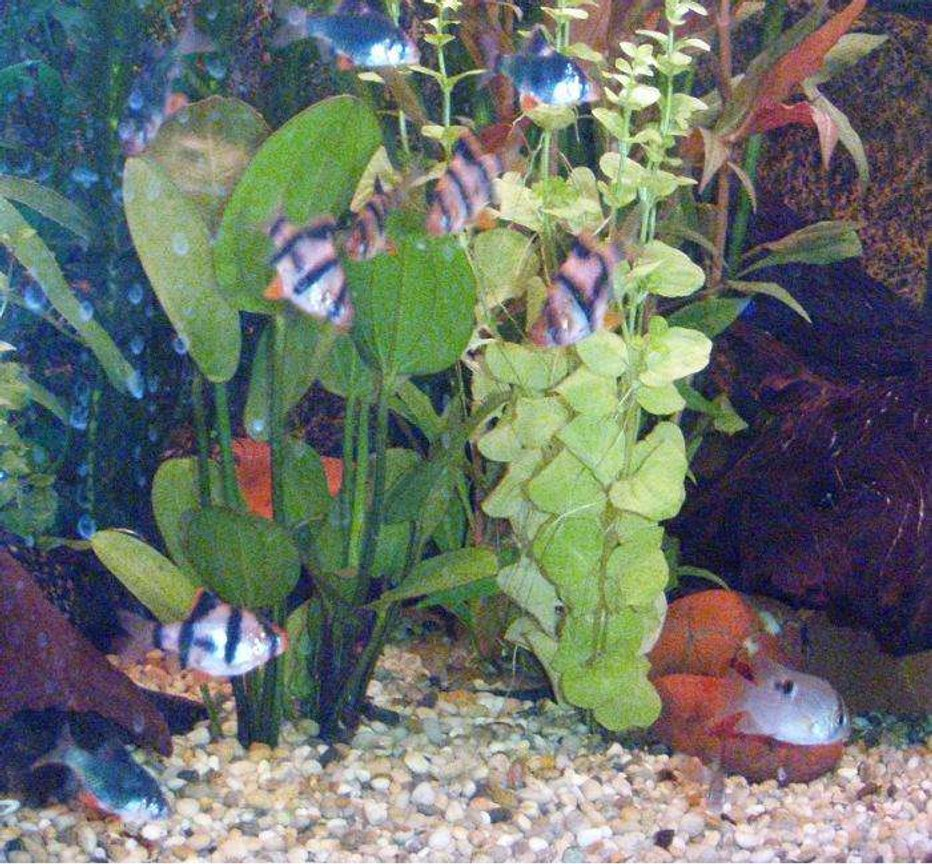 freshwater fish - puntius tetrazona - tiger barb stocking in 40 gallons tank - The Tiger Barbs