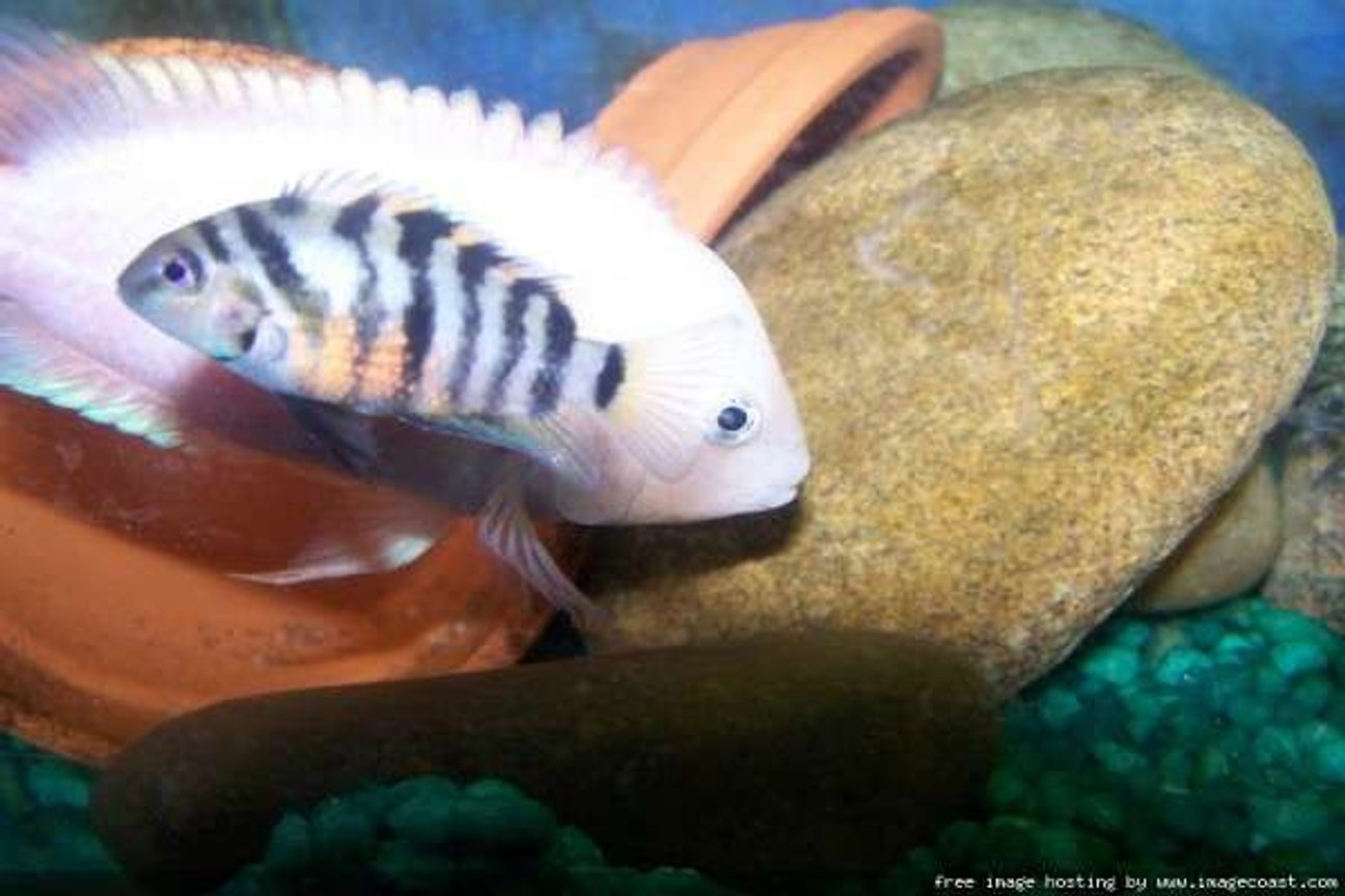 freshwater fish - archocentrus nigrofasciatus - pink convict cichlid stocking in 29 gallons tank - 2 of my convicts
