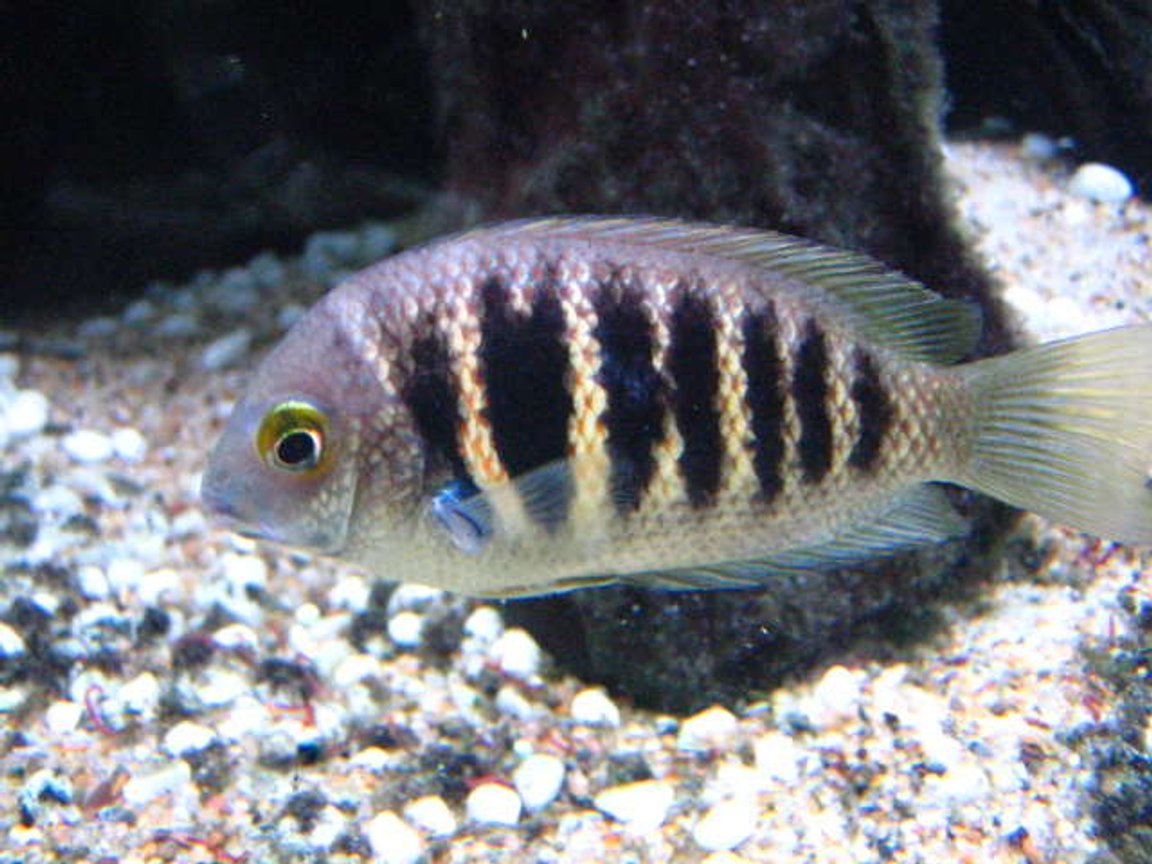 freshwater fish - etroplus canarensis - green chromide stocking in 100 gallons tank - Forget the name, but it's an indian cichlid (not common). Looks marine, but is freshwater.