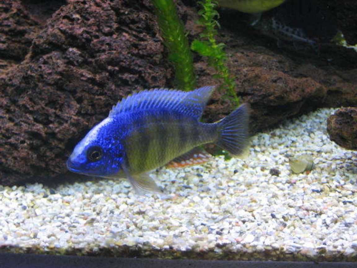 freshwater fish - protomelas steveni - taiwan reef stocking in 225 gallons tank - Taiwan reef