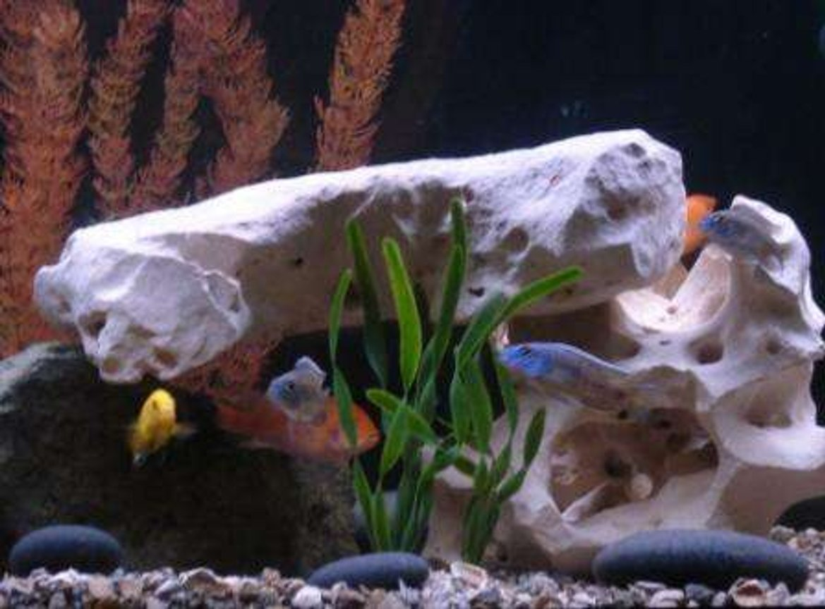 freshwater fish - labidochromis caeruleus - electric yellow cichlid stocking in 75 gallons tank - Assorted African Cichlids.