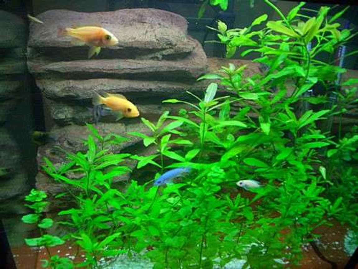 freshwater fish - pseudotropheus estherae - red zebra cichlid stocking in 140 gallons tank - LOVE MY FISH TANK I HOPE YOU LIKE IT TO