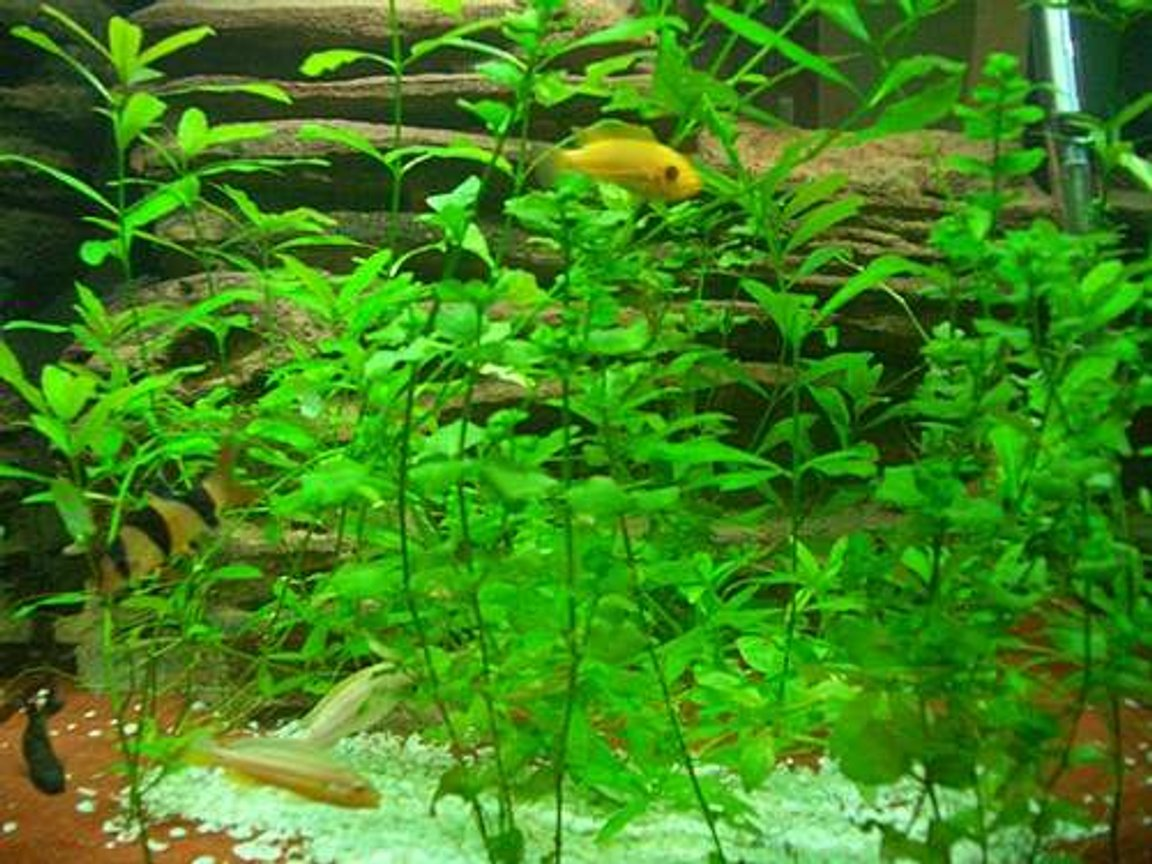 freshwater fish - botia macracantha - clown loach stocking in 140 gallons tank - LOVE MY FISH TANK I HOPE YOU LIKE IT TO