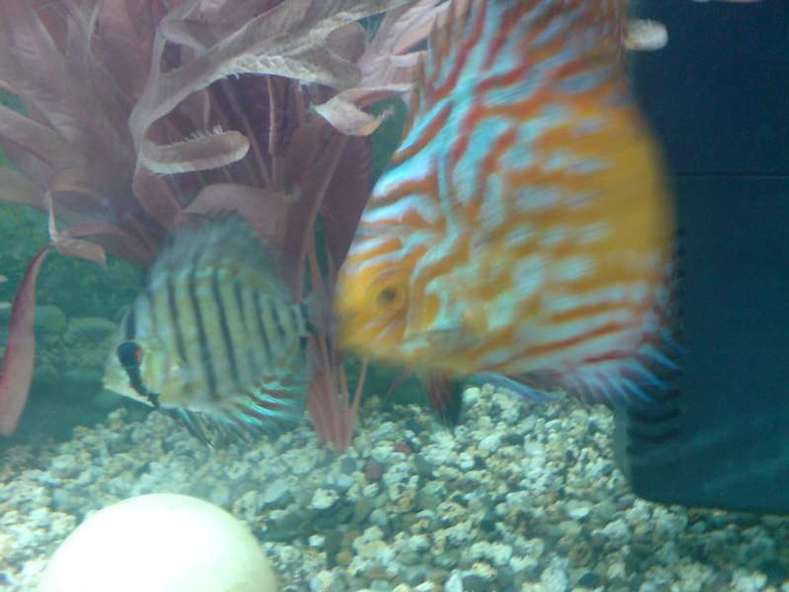 freshwater fish - flash pigeon discus stocking in 40 gallons tank - Flash Pigeon Discus and Crystal Blue Discus (baby's)