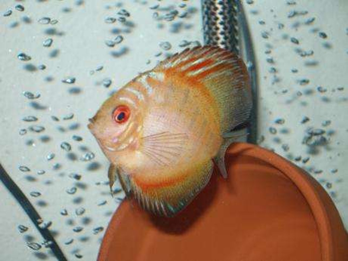 freshwater fish - symphysodon spp. - pigeon blood discus stocking in 55 gallons tank - pigeon blood discus 3""