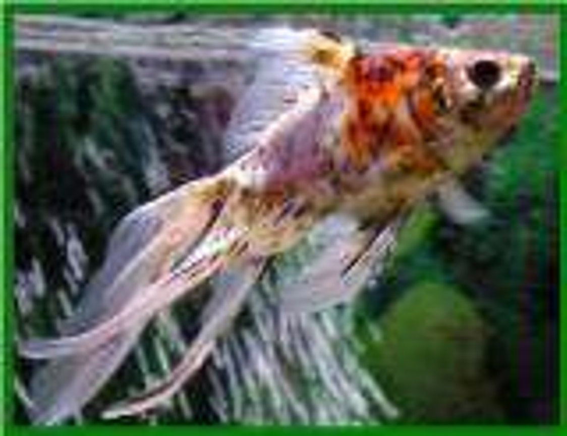 freshwater fish - carassius auratus - fantail goldfish, calico stocking in 65 gallons tank - sam, my calico fantail.