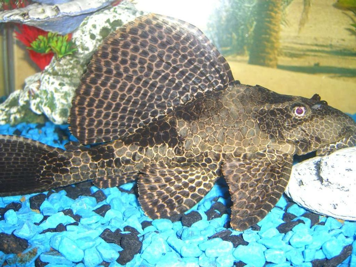 freshwater fish - pseudoacanthicus spinosus - chocolate chip spiny pleco (l-160) stocking in 60 gallons tank - pelco