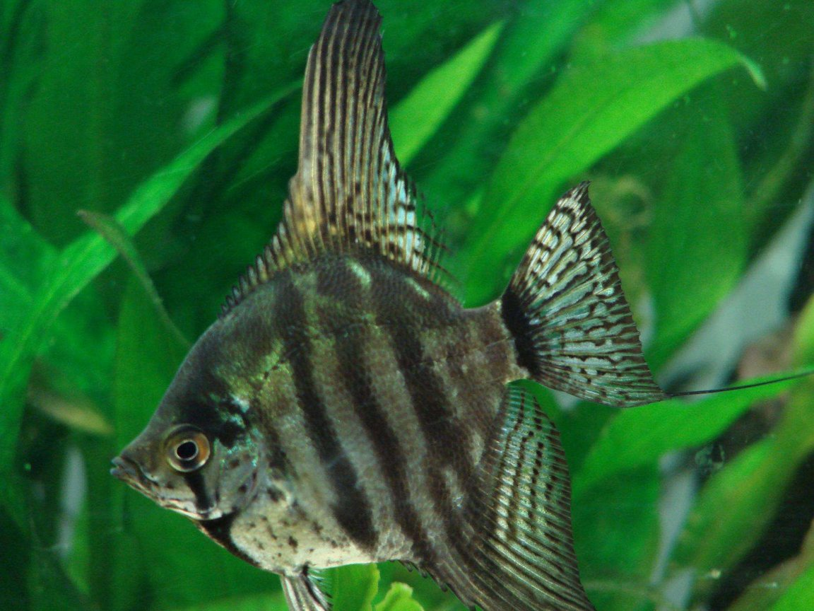 freshwater fish - pterophyllum sp. - smokey leopard veil angel stocking in 200 gallons tank - Smoky Angelfish