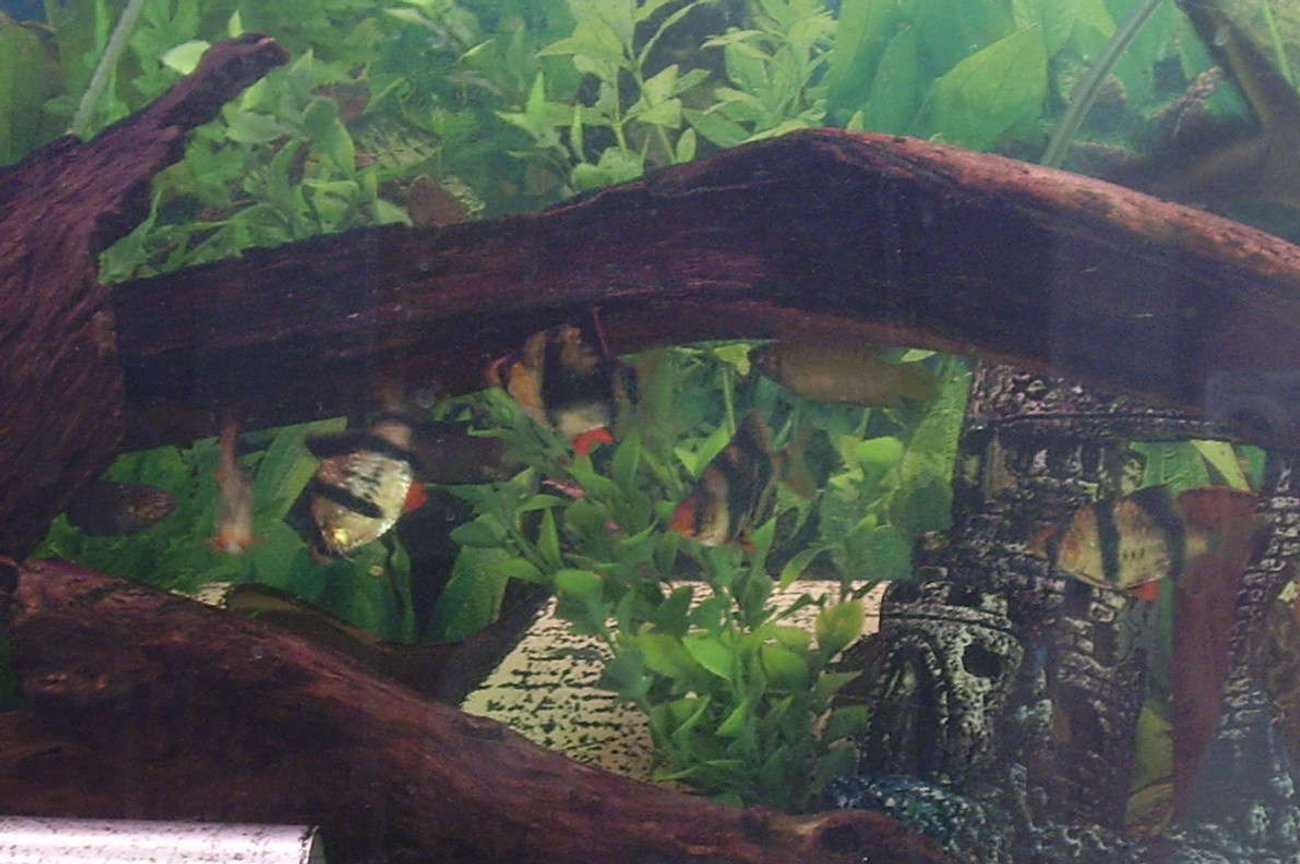 freshwater fish - puntius tetrazona - tiger barb - Tiger barbs are great schooling fish, apparently they tend to attack other fish and nip their fins but all of my fish get along extremely well. i think the tiger barb school have even adopted the neon tetra =]