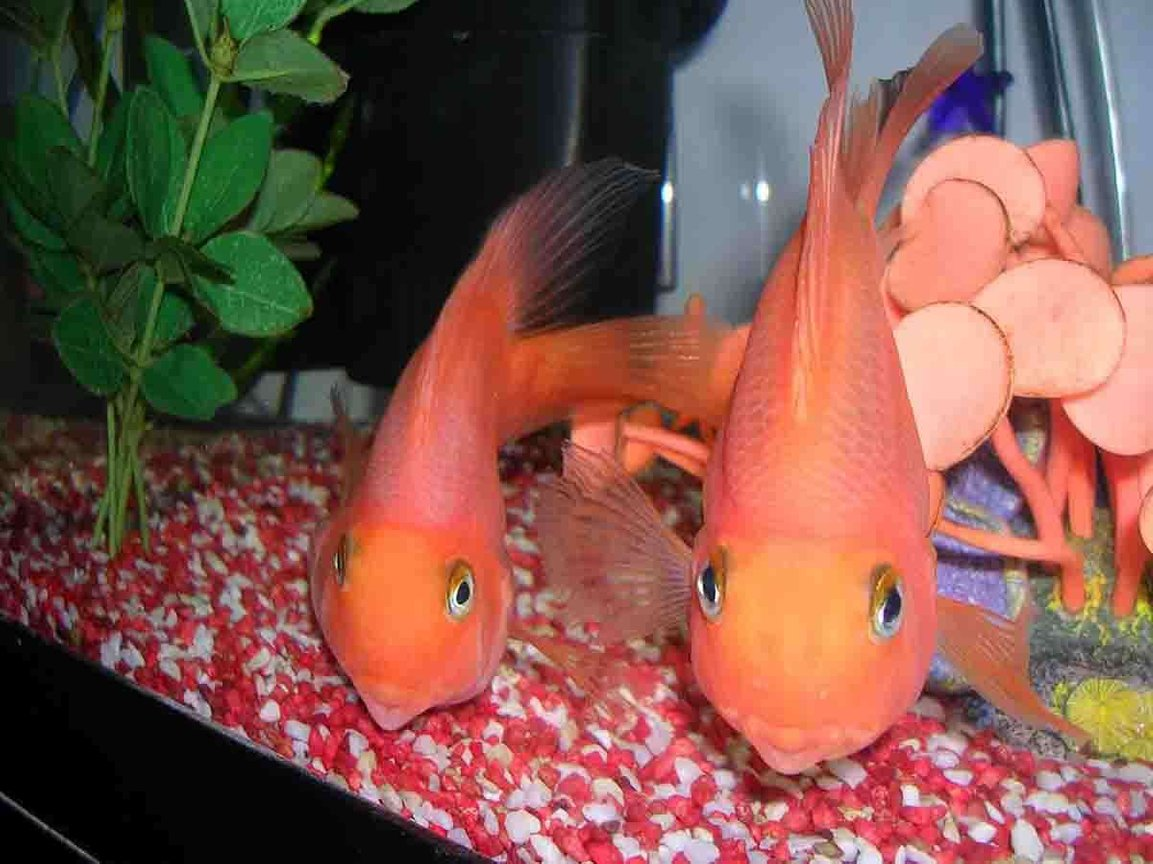 freshwater fish - heros severus x amphilophus citrinellum - blood parrot stocking in 35 gallons tank - loving the camera