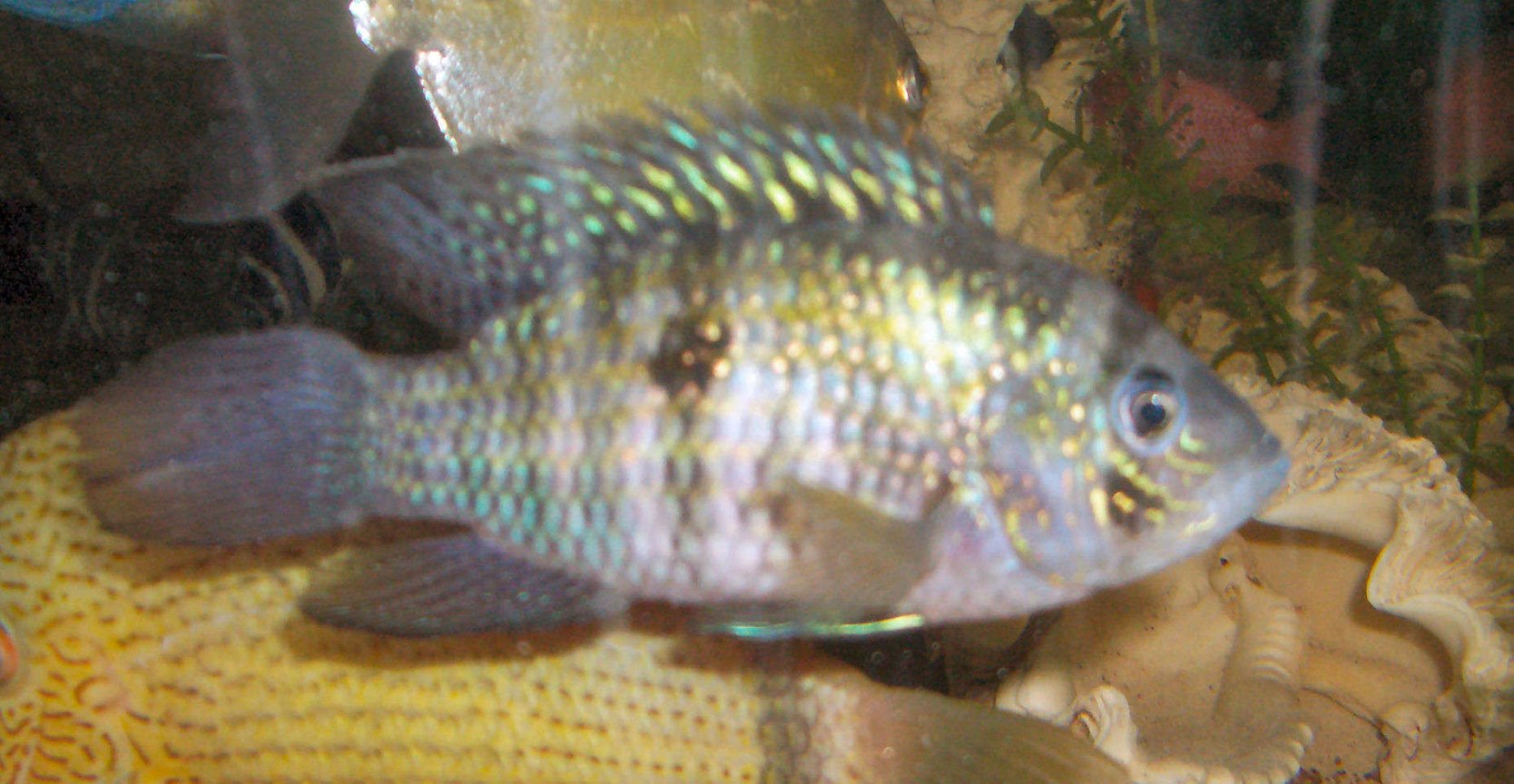 freshwater fish - aequidens pulcher - blue acara stocking in 42 gallons tank - blue acara