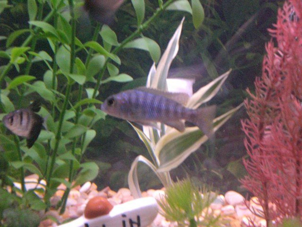 freshwater fish - sciaenochromis ahli - snow white ahli stocking in 55 gallons tank - snow white ahli
