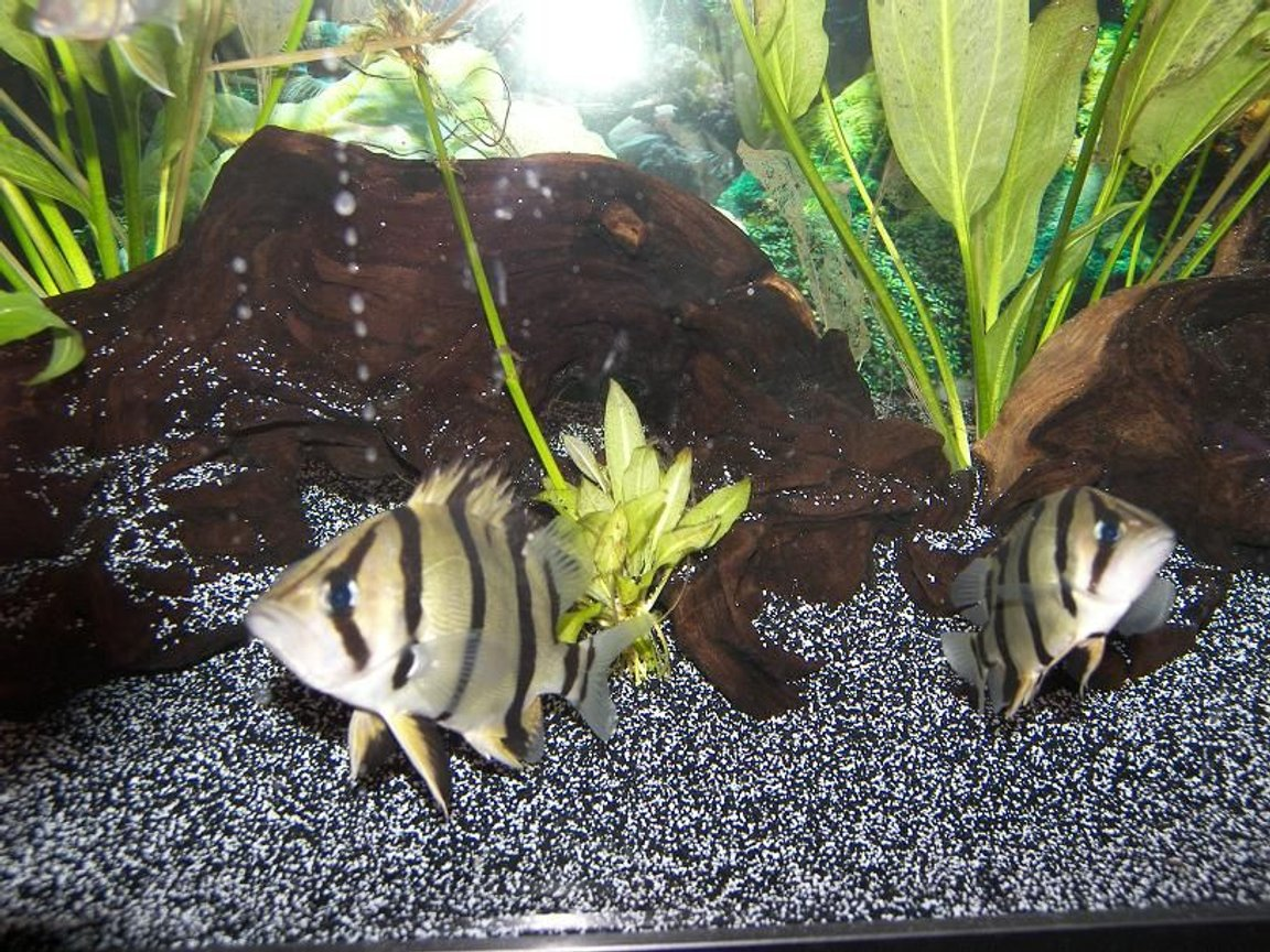 freshwater fish - datnioides undecimradiatus - thin bar datnoid stocking in 120 gallons tank - Thinbar Datnoids. Pretty Rare Fish. Dont be jealous of my score.. The picture and fish are the best in the world. FUCK OFF