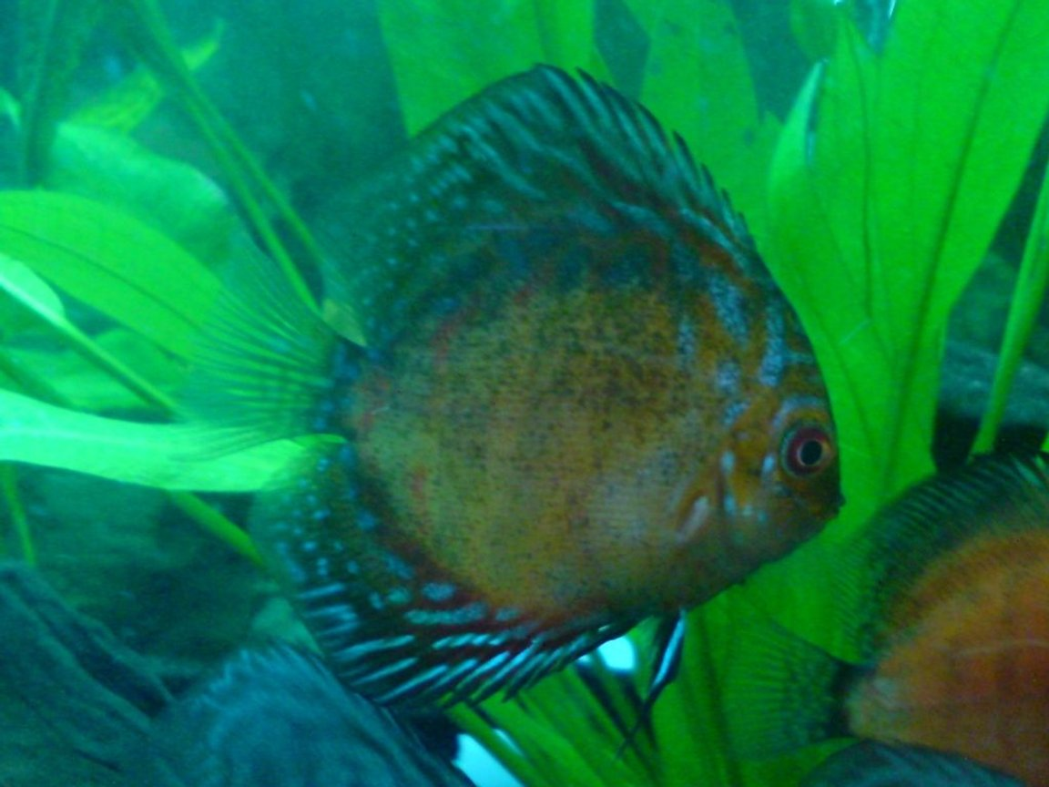 freshwater fish - symphysodon spp. - pigeon blood discus stocking in 100 gallons tank - discus