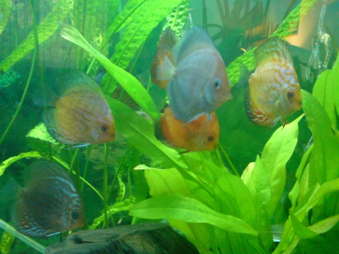 freshwater fish - symphysodon sp. - white discus stocking in 100 gallons tank - ghost