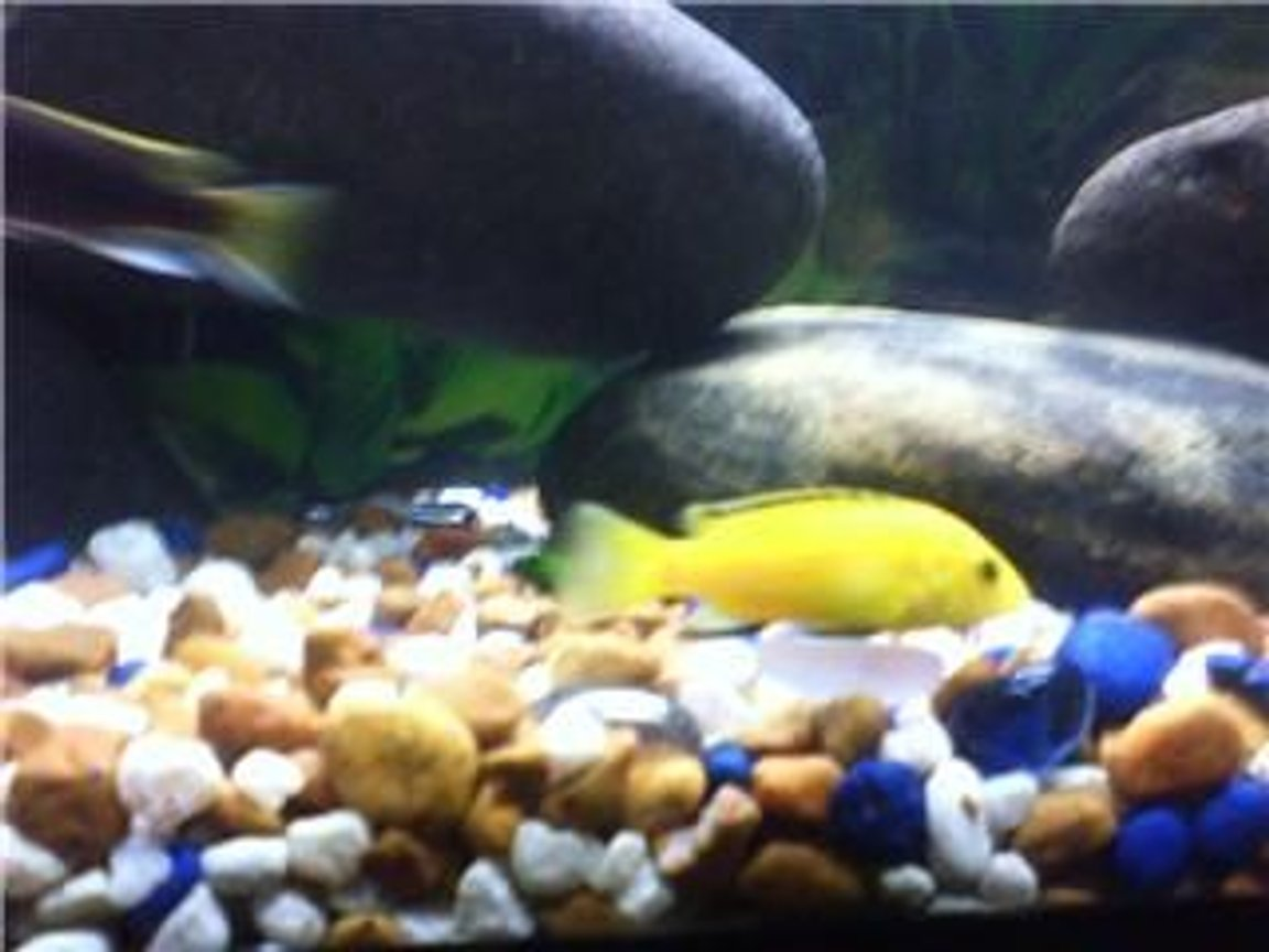 freshwater fish - labidochromis caeruleus - electric yellow cichlid - Yellow Lab with Acei swimming by