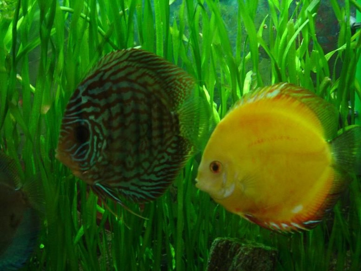 freshwater fish - symphysodon sp. - yellow marlboro discus stocking in 50 gallons tank - two of my adults.