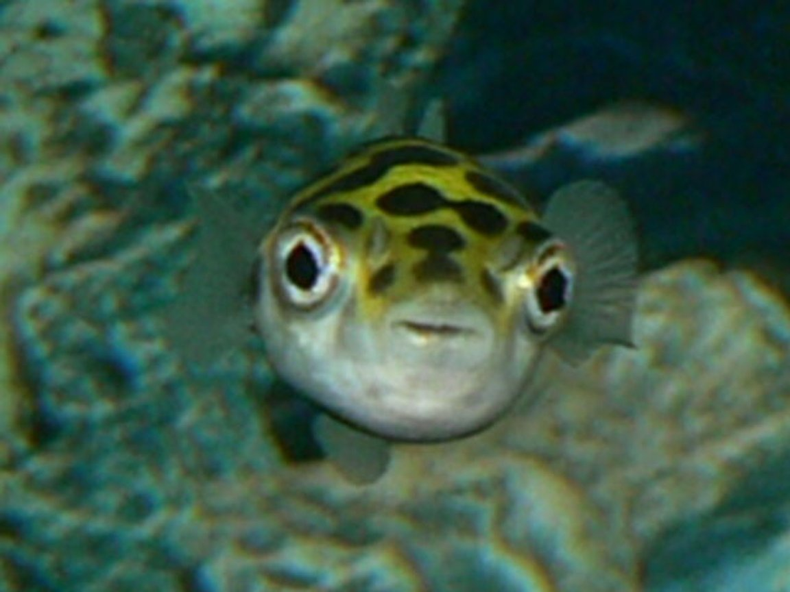 freshwater fish - tetraodon biocellatus - figure 8 puffer stocking in 50 gallons tank - A puffer I once had....he died