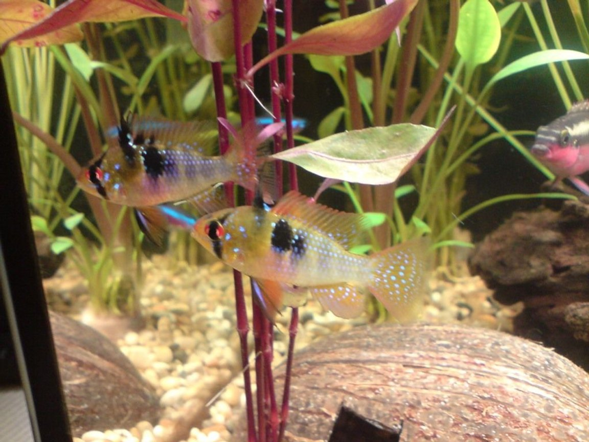 freshwater fish - papiliochromis ramirezi - german blue ram stocking in 16 gallons tank - 2 blue rams and my red bellied krib in the background.