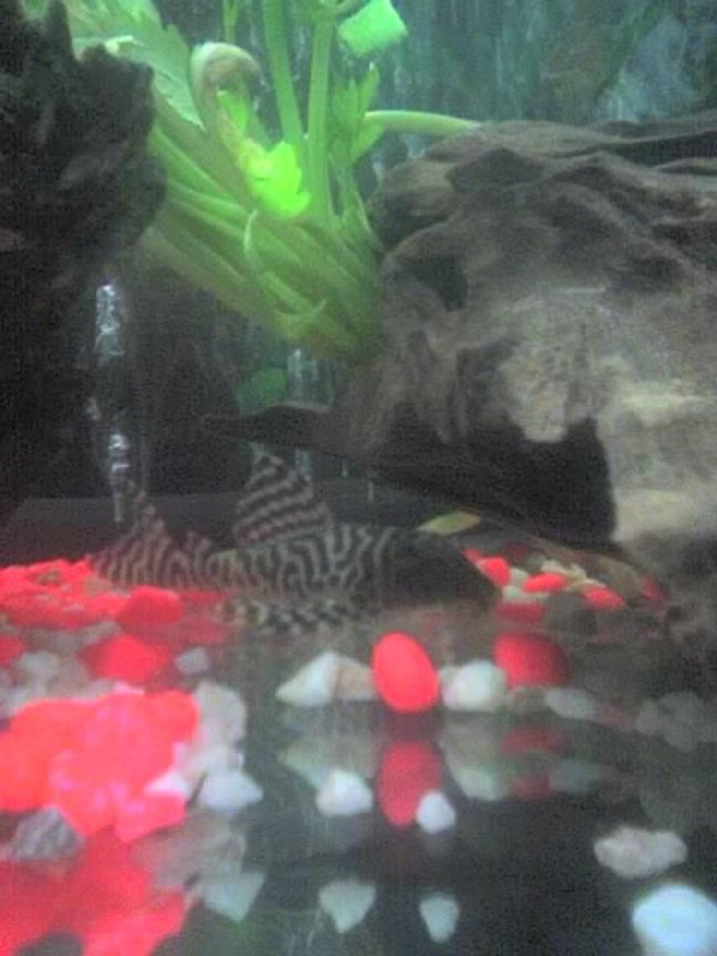 freshwater fish - hypancistrus sp. - queen arabesque pleco stocking in 30 gallons tank - my pleco