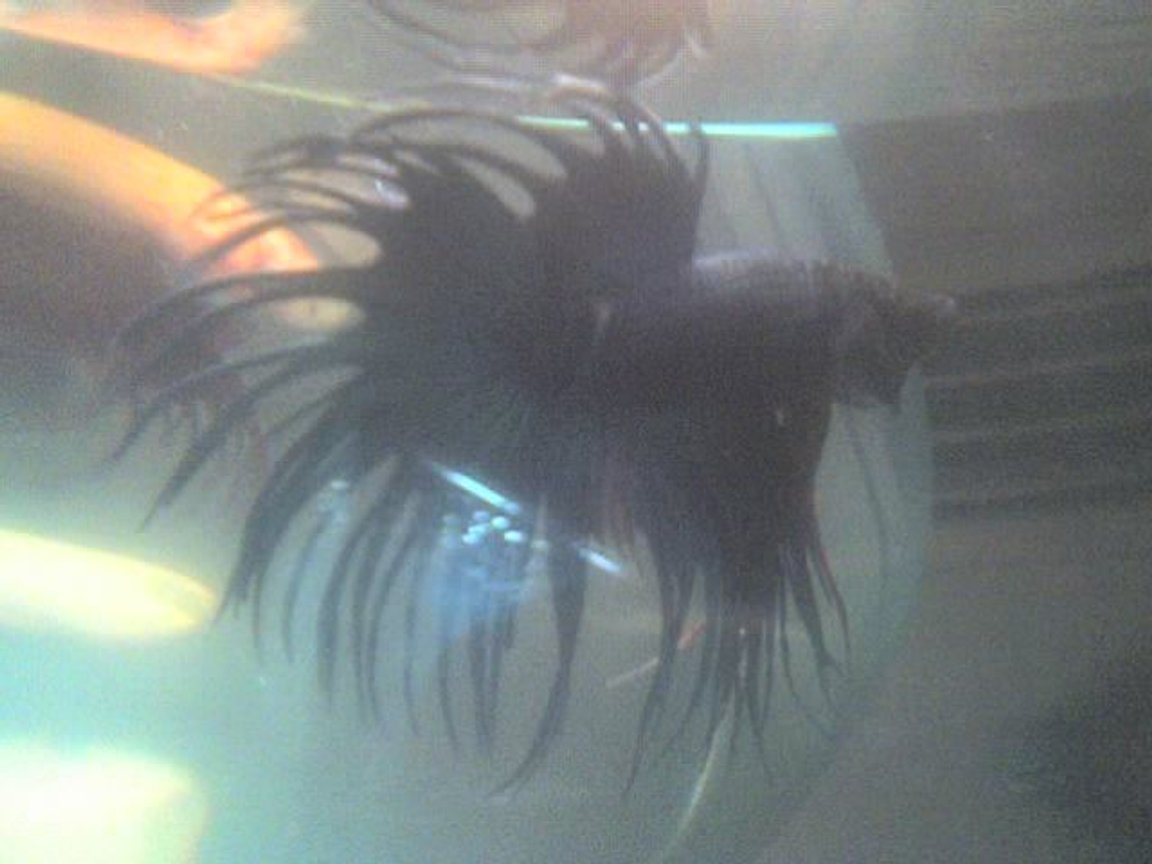 freshwater fish - betta splendens - crown tail betta stocking in 30 gallons tank - my betta