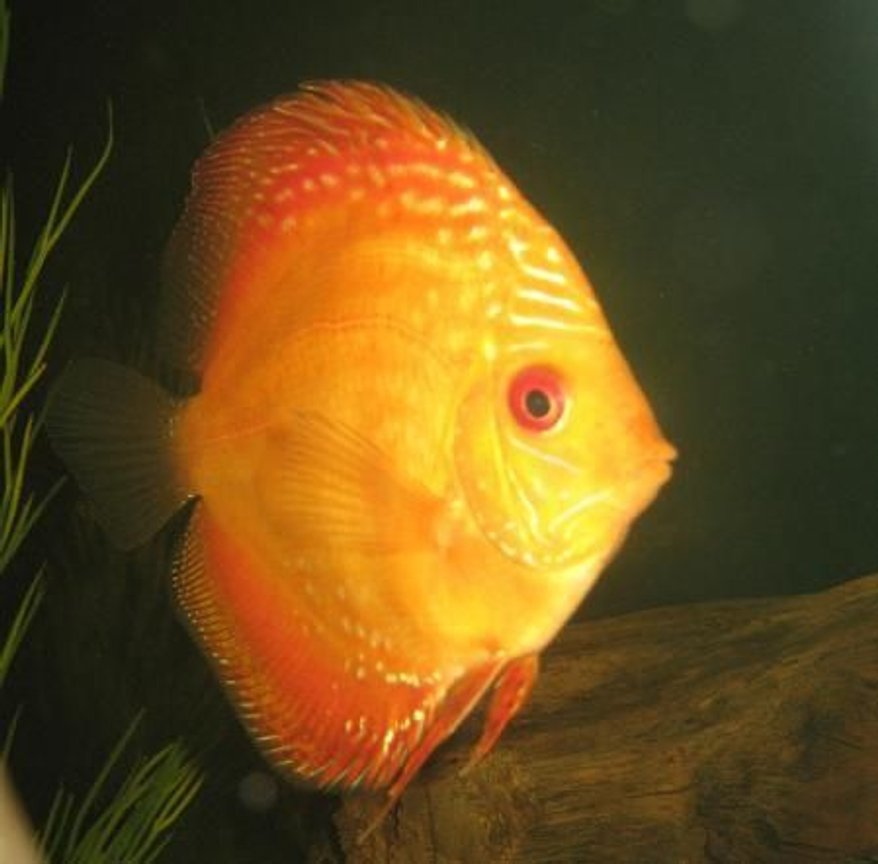freshwater fish - symphysodon sp. - red marlboro discus stocking in 110 gallons tank - 5in. male marlboro red