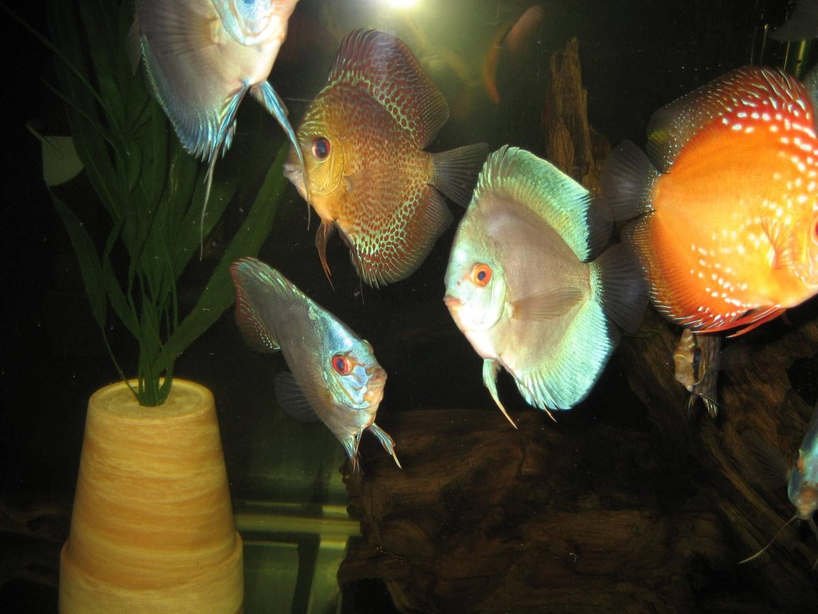 freshwater fish - symphysodon sp. - white discus stocking in 110 gallons tank - some discus, royal turquise, blue diamond, cobalt, marlboro red, leopard snakeskin.