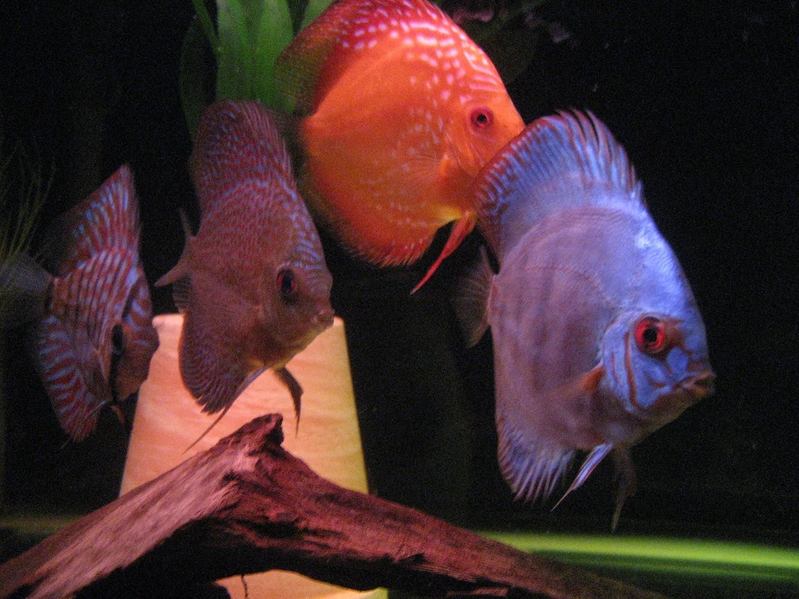 freshwater fish - symphysodon sp. - blue diamond discus stocking in 110 gallons tank - some discus juvies Red turquise, leopard snakeskin, marlboro red, royal turquise.