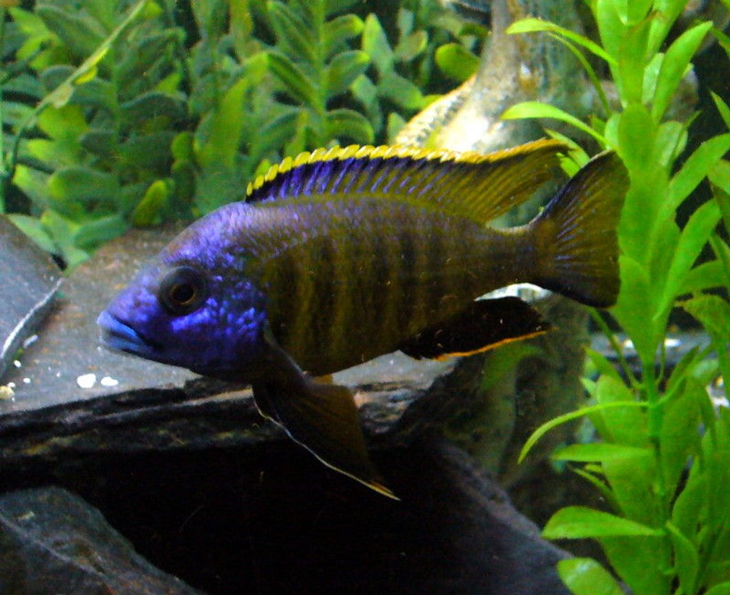 "freshwater fish - placidochromis sp. - placidochromis stocking in 110 gallons tank - Sunny Placidiochromis Electra ""Mandalawi"""