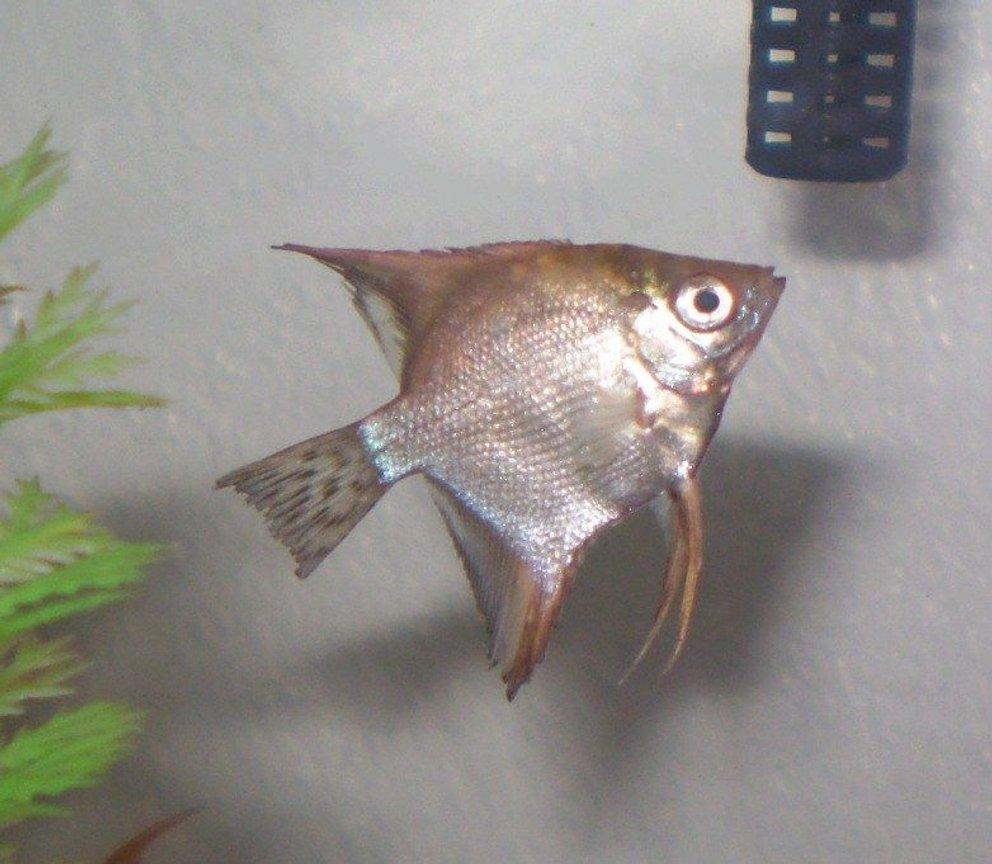 Photo #5 - My Angelfish (quarter Sized).. I Think That It&...