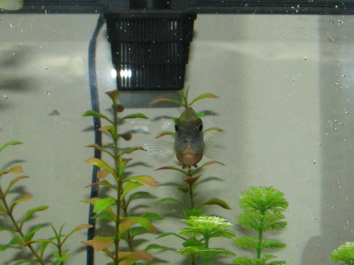 freshwater fish stocking in 72 gallons tank - Dino, one of our african cichlids.