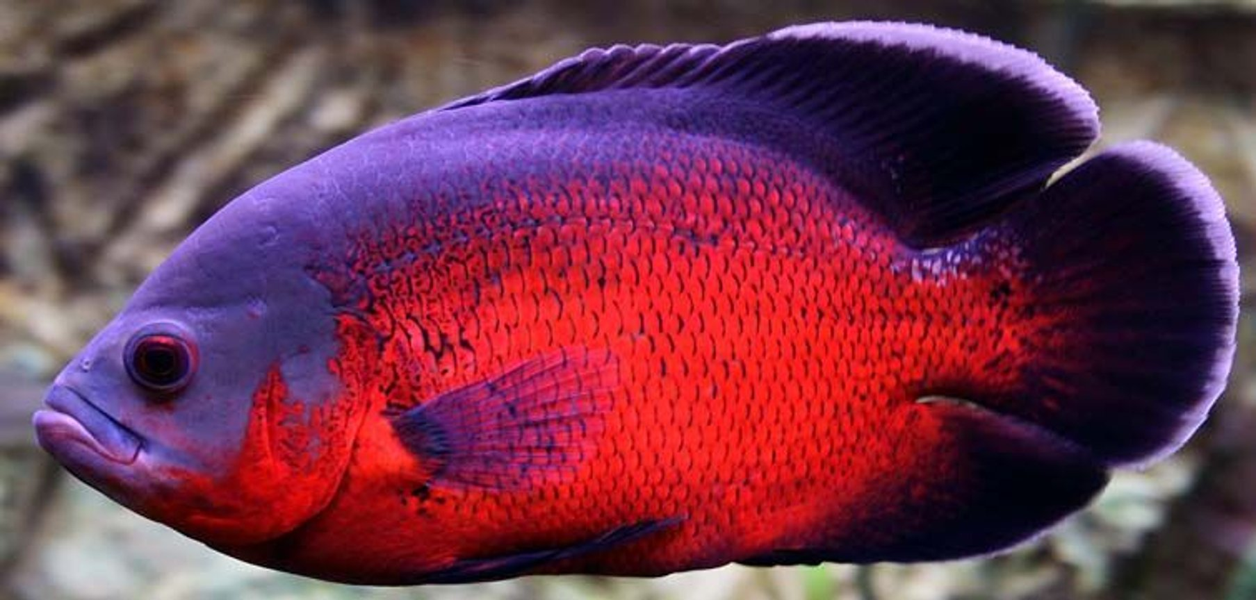 freshwater fish - astronotus ocellatus - red oscar stocking in 265 gallons tank