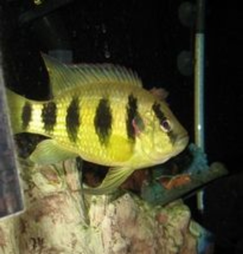 freshwater fish - astatotilapia latifasciata - zebra obliquidens stocking in 100 gallons tank - dave