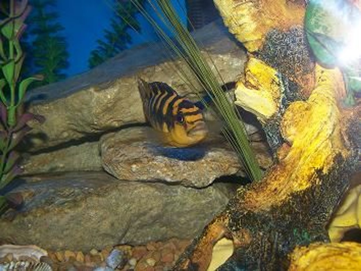 freshwater fish - pseudotropheus crabro - bumblebee cichlid stocking in 90 gallons tank - bumbble bee