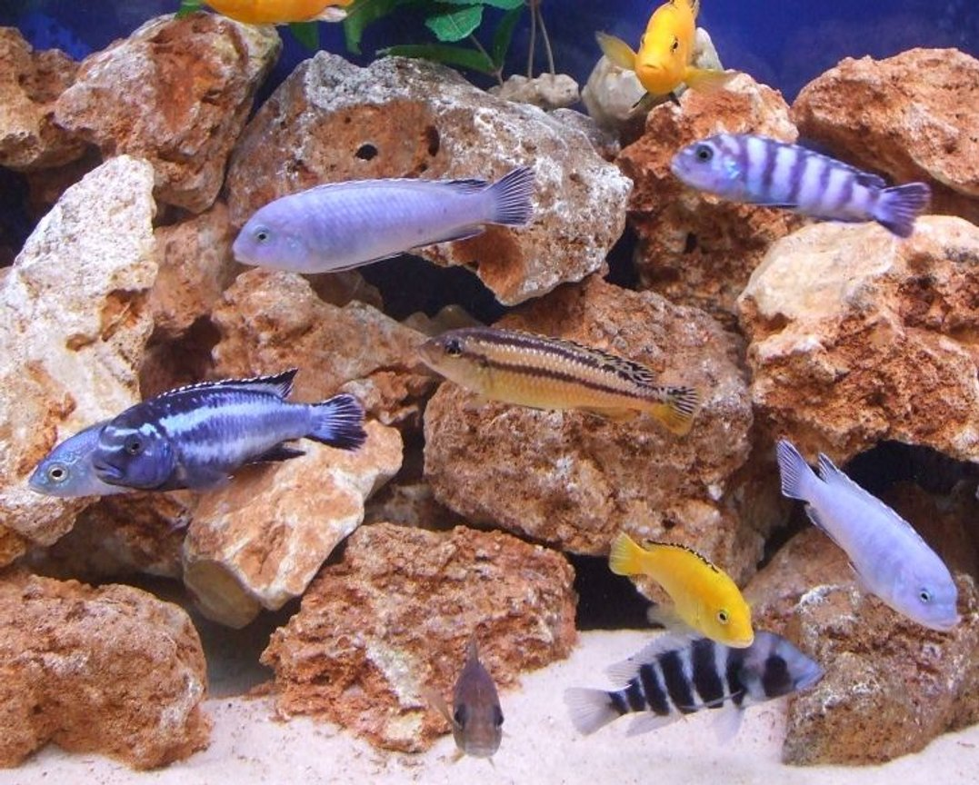 freshwater fish - melanochromis auratus - auratus cichlid stocking in 280 gallons tank - A mixture.
