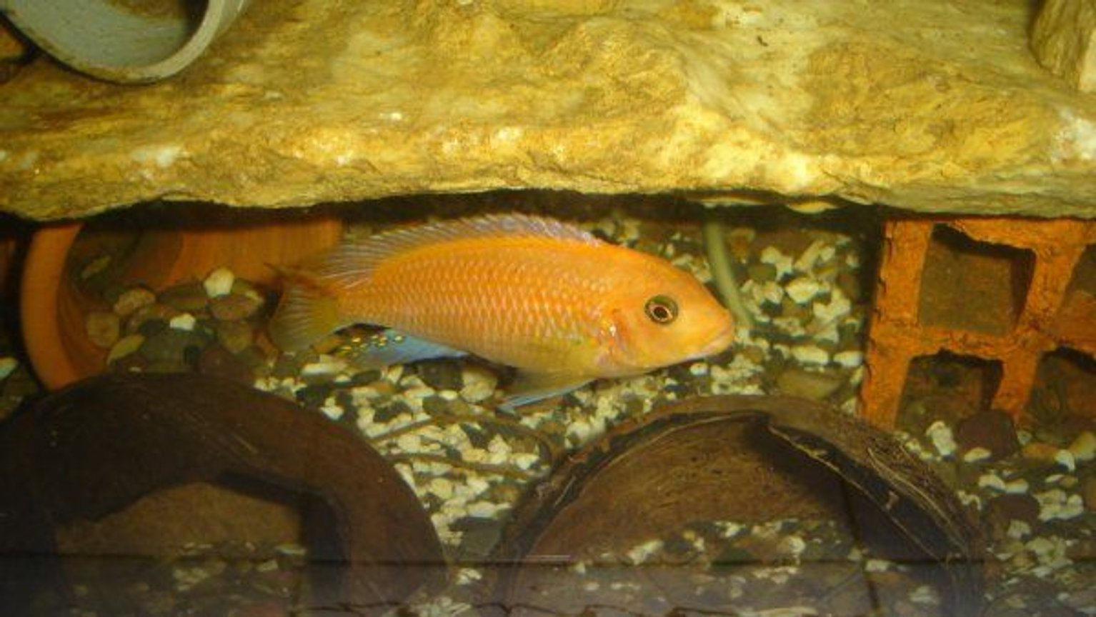 "freshwater fish - pseudotropheus kingsizei stocking in 70 gallons tank - Pseudotropheus kingsizei ""lupingu"""