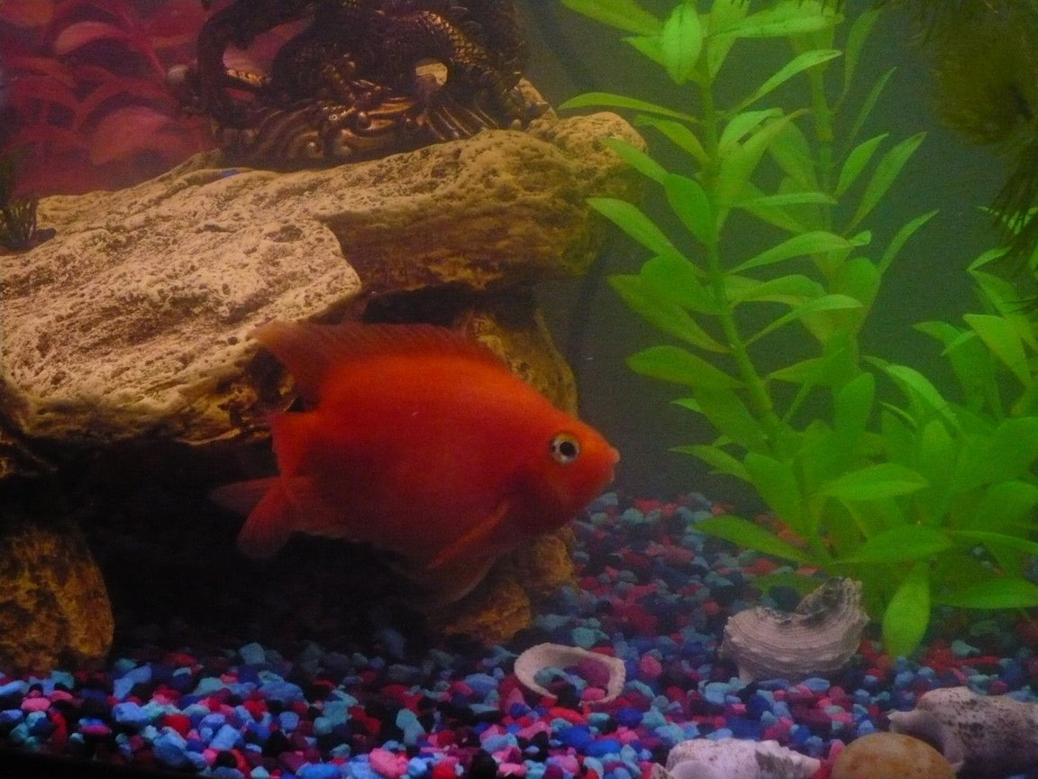 freshwater fish - heros severus x amphilophus citrinellum - blood parrot stocking in 55 gallons tank - my parrot chiclid in a 55g