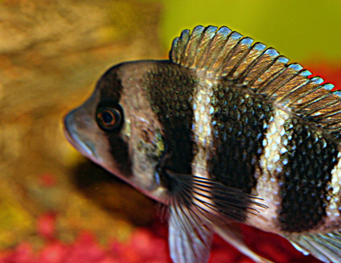 freshwater fish - cyphotilapia frontosa - frontosa cichlid stocking in 20 gallons tank - my new frontosa, theo