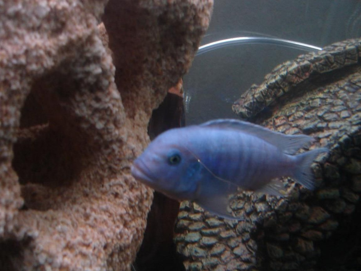 freshwater fish - maylandia callainos - blue cobalt cichlid stocking in 120 gallons tank - Blue Colbolt African Cichlid Maylandia Callainos