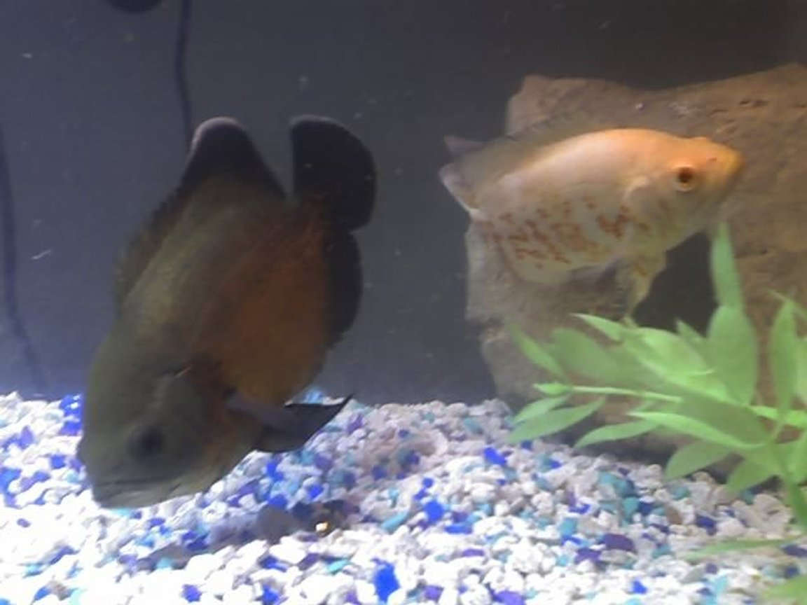 freshwater fish - astronotus ocellatus - red oscar stocking in 20 gallons tank - My Oscar's Thrasher & Princess