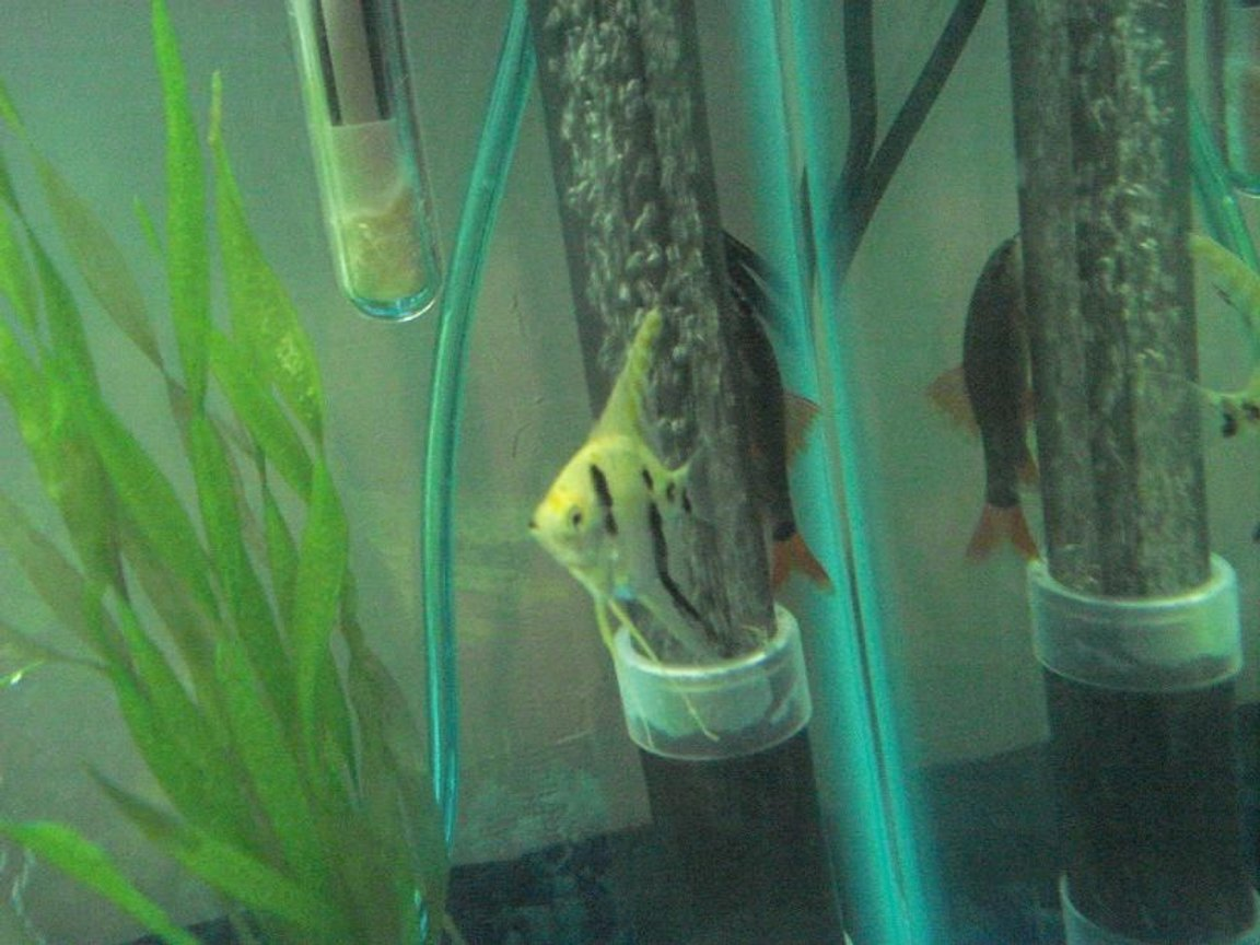 freshwater fish - pterophyllum sp. - koi angel stocking in 25 gallons tank - My angel