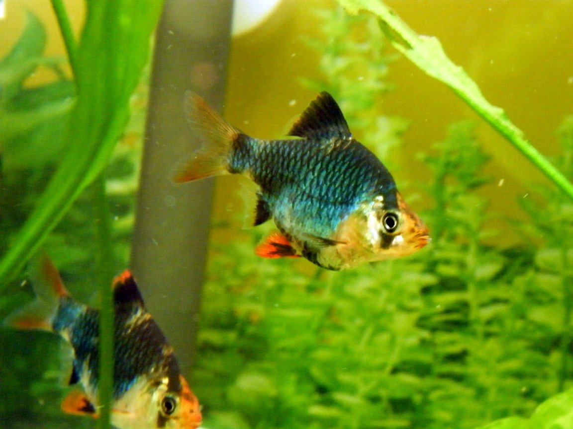freshwater fish - puntius tetrazona - green tiger barb stocking in 32 gallons tank - Green Tiger Barb